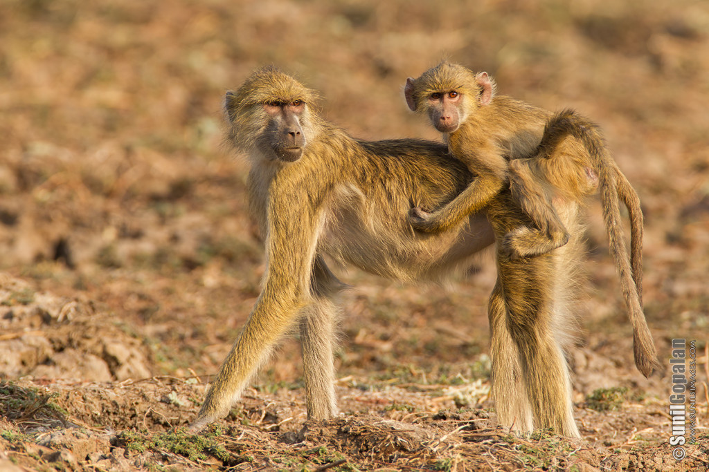 Yellow Baboon - Mother and child