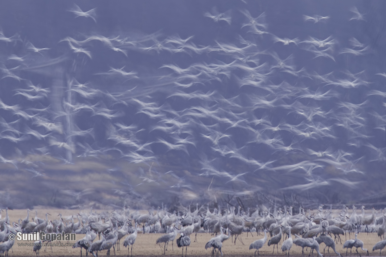 Long exposure of Sandhill Cranes arriving for the night